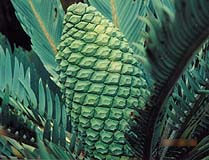 Cycads are palm like in shape