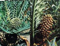 Encephalartos Horridus Blue, Very popular Cycad.