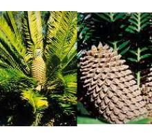 Encephalartos Altensteinii ~ (South Africa) Recommended